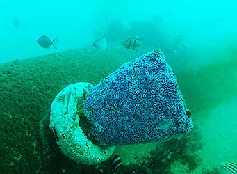 marine life on outfall pipe