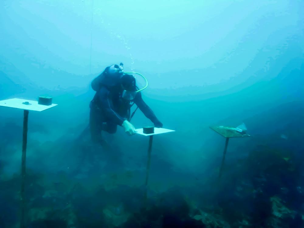 Diver inspecting settlement plates