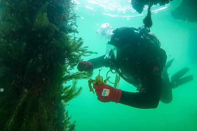 Diver removing invasive pest